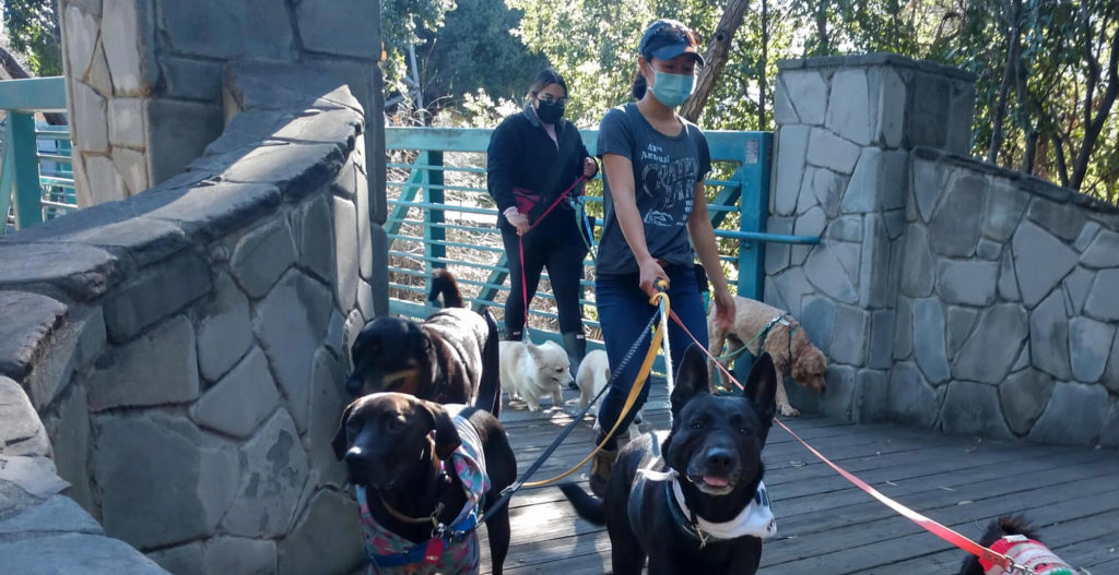Two women wearing medical masks are walking groups of leashed dogs, coming out of a foot bridge. The dog in the front of the group is sticking her tongue out in a pffft raspberry.