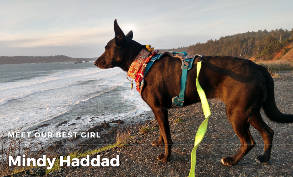 A black, bat eared dog with long nose stands at the edge of a bluff as the orange setting sun makes her fur glow. She wears a blue and grey body harness, a red bandana, and a pumpkin printed thick collar. A yellow leash is draped on her back.